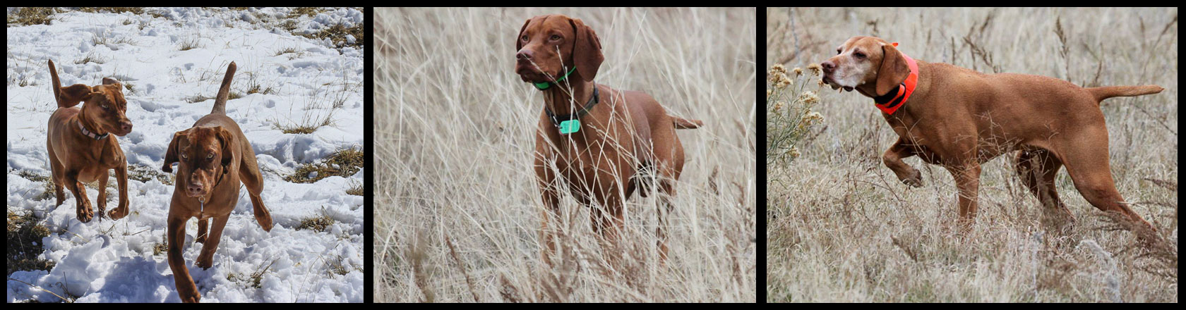 Three Vizslas doing what they love best-hunting