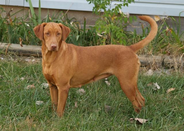 vizsla lab mix