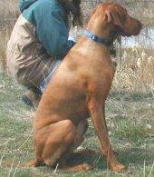 Colorado Wyoming Vizsla Rescue Group Identify A